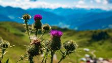Beautiful Alpine Flowers At Th...