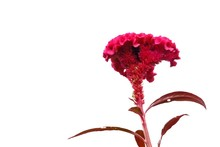 Sweet Red Cockscomb Flower Blossom On White Isolated Background And Copy Space