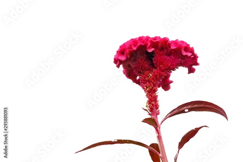 Obraz na plátně  Sweet red Cockscomb flower blossom on white isolated background and copy space