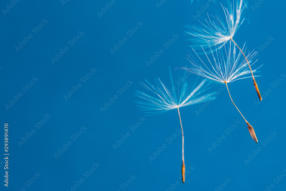 Flying dandelion seeds on a blue background/ Copy space for text