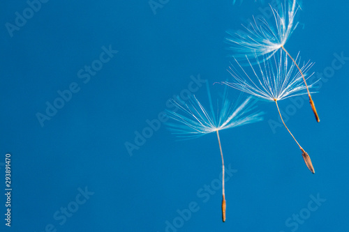 Flying dandelion seeds on a blue background/ Copy space for text Canvas-taulu