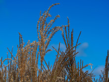 Miscanthus Sinensis Maiden Silvergrass Against A Blue Sky