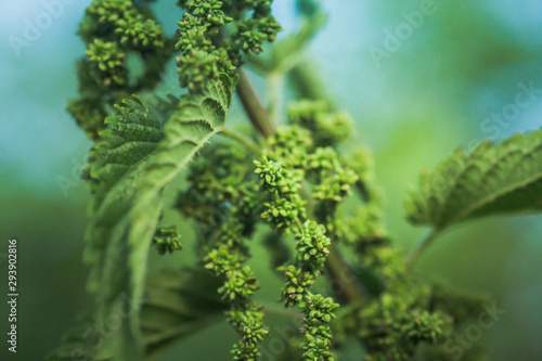 Photo  Nettle flowers and buds close-up