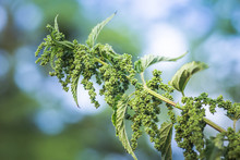 Nettle Flowers And Buds Close-...
