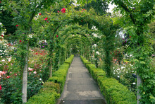 A Path Through The Rose Garden...