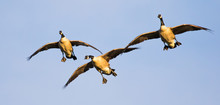 Three Canada Geese In Formatio...