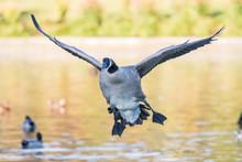 A Canada Goose Prepares To Tou...