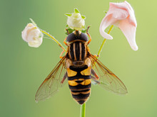 Colourful Hover Fly, Helophilus Fasciatus Perched On A Flower Stem. Dorsal View