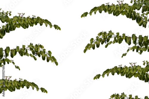 Fotografie, Obraz  green leaf isolated on white background
