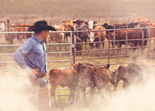 Cowboy Overseeing The Branding And Inspection Of Calves Born On The Cattle Ranch