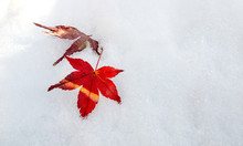 Red Maple Leaves On First Winter White And Clean Snow