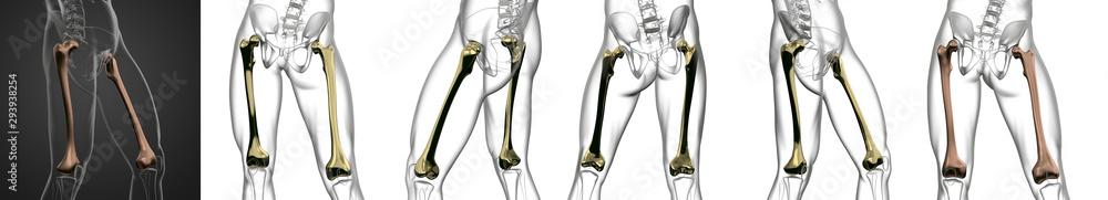 Fototapety, obrazy: 3D rendering medical illustration of the femur bone