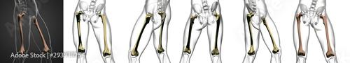 Fotografía  3D rendering medical illustration of the femur bone