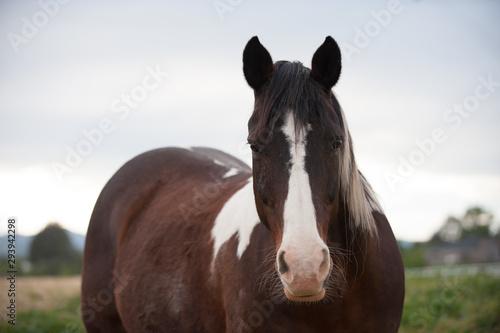 Quarter Horse Paint gelding horse