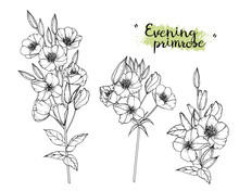 Sketch Floral Botany Collection. Evening Primrose Flower Drawings. Black And White With Line Art On White Backgrounds. Hand Drawn Botanical Illustrations.Vector.