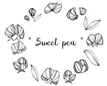 Sketch Floral Botany Collection. Sweet Pea Flower Drawings. Black And White With Line Art On White Backgrounds. Hand Drawn Botanical Illustrations.Vector.