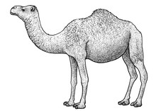 Arabian Camel, Dromedary Illustration, Drawing, Engraving, Ink, Line Art, Vector
