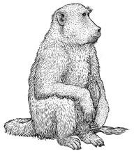 Baboon Illustration, Drawing, ...