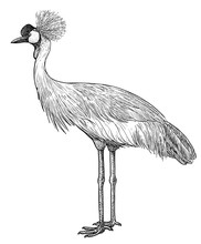 Crowned Crane Illustration, Drawing, Engraving, Ink, Line Art, Vector