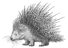 Porcupine Illustration, Drawin...