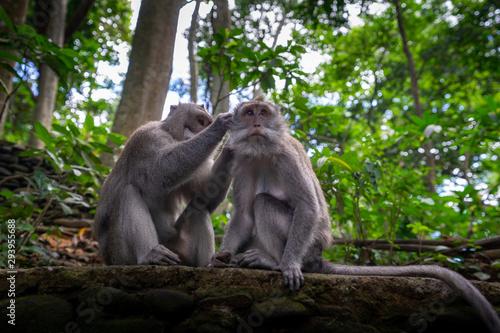 Monkeys grooming Wallpaper Mural