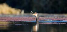 Single Reed Cormorant Catch A ...