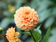 Pompon Or Ball Dahlias | Beautiful Decorative Dahlias Flowers With Magnificent Blunt Petals Slightly Rounded At Their Tips Or Ball-shaped And Slightly Flattened At Face