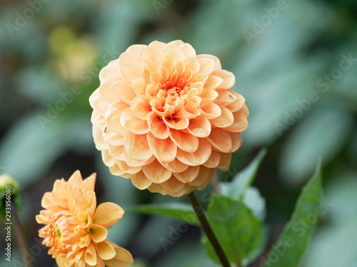 Poster de jardin Dahlia Pompon or ball Dahlias | Beautiful decorative dahlias flowers with magnificent blunt petals slightly rounded at their tips or ball-shaped and slightly flattened at face