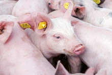 Pink Pigs On The Farm. Swine A...