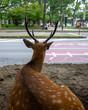 Deer resting in city