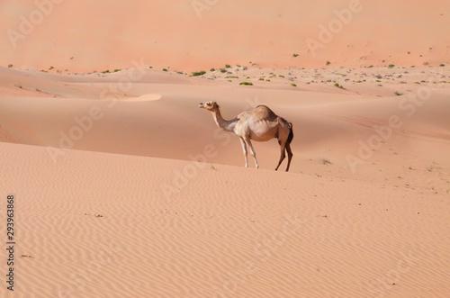 Foto auf Gartenposter Kameel Wüste