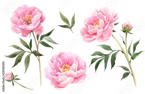 Obraz na plátně Watercolor peony flowers illustration