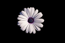 White African Daisy Or Cape Daisy (Osteospermum) Isolated On Black Background, Top View. Flower With Elegant Pure White Petals Which Are Offset By Deep Blue To Purple Eye With Bright Yellow Droplets.