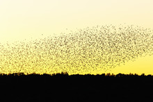 Large Flock Of Jackdaws In Sil...