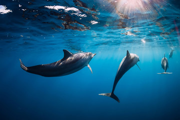 Spinner dolphins underwater in blue ocean with light