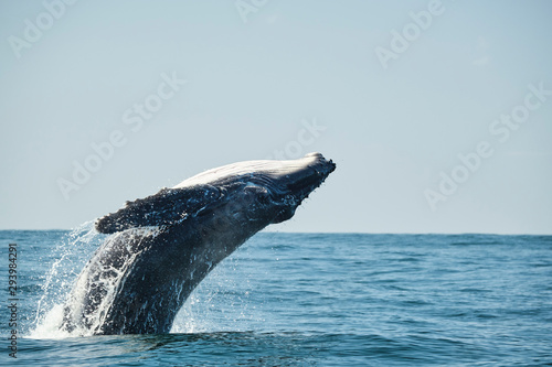 Large whale breaching over the ocean during whale migration on the east coast of Tapéta, Fotótapéta