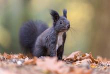 Black Squirrel In Autumn Leaves