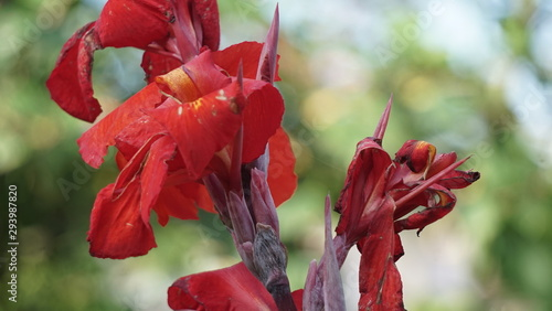 Fototapety, obrazy: red and white flowers