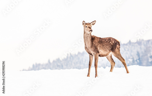 Poster Hert roe deer in winter snow