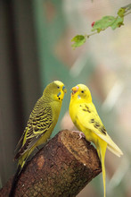 Courting Budgerigar Parakeet B...