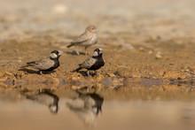 Ashy Crowned Sparrow Lark Drin...