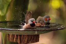 Shaft Tail Finch Birds Poephila Acuticauda  In A Bird Bath
