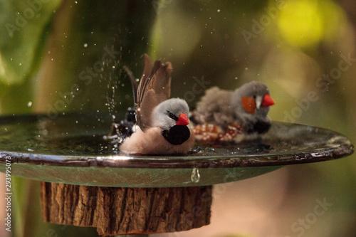 Photo Shaft tail finch birds Poephila acuticauda  in a bird bath