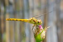 Macro Of The Juvenile Vagrant Darter (Sympetrum Vulgatum) - Yellow Dragonfly Sitting On A Rose