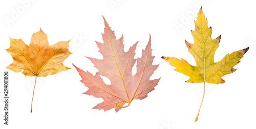 Fototapety, obrazy: isolated yellow and red autumn leaf on white background. Leaves in fall