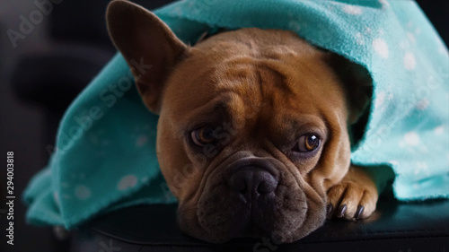 Spoed Fotobehang Franse bulldog Portrait of a French bulldog lying on the couch under a blue blanket.
