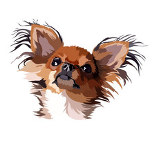 Chihuahua Dog Longhair Vector ...