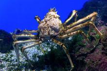 Spider Crab Underwater. Ocean ...