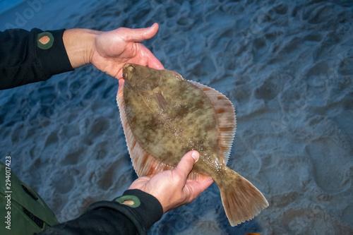 Fotografia European flounder or Platichthys flesus, flatfish in the hands of a fisherman on
