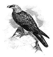 Bearded Vulture, Vintage Illustration.